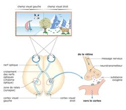 De la rétine au cortex occipital