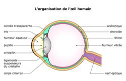 La perception visuelle : de la rétine au cerveau - illustration 1