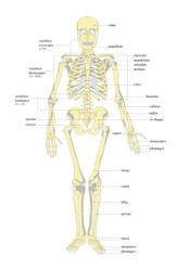 Organisation du squelette et troubles squelettiques - illustration 1