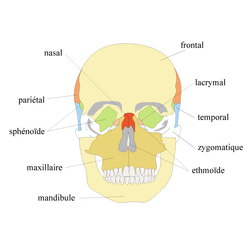 Organisation du squelette et troubles squelettiques - illustration 2