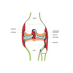 Organisation du squelette et troubles squelettiques - illustration 3