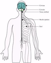 Commande de l'appareil locomoteur : le système nerveux - illustration 1