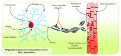 Commande de l'appareil locomoteur : le système nerveux - illustration 2