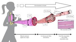Physiologie neuromusculaire et pathologies neurodégénératives - illustration 1