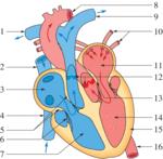 Anatomie et physiologie de l'appareil cardiovasculaire - illustration 1