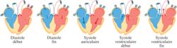 Anatomie et physiologie de l'appareil cardiovasculaire - illustration 3