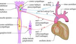 Exploration de l'appareil cardiovasculaire et pathologies - illustration 4