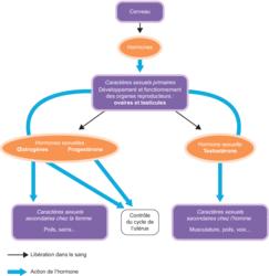Actions des hormones sur le développement à la puberté