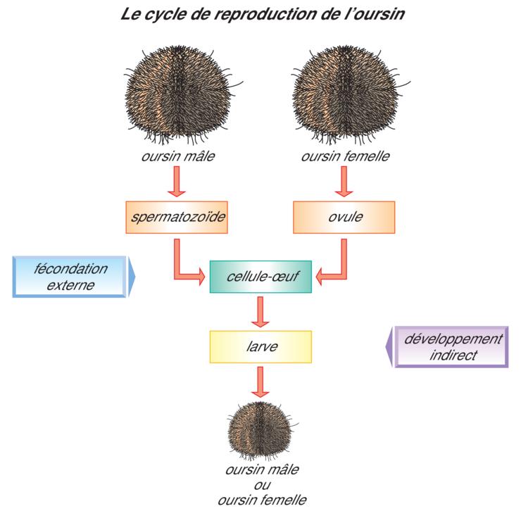Image 5sra0105 - La fécondation interne et la fécondation