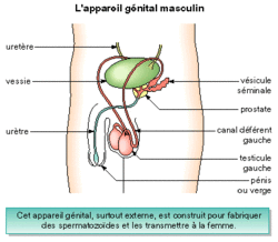 La production des spermatozoïdes et des ovules - illustration 1