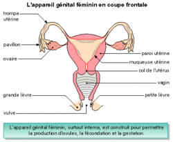 La production des spermatozoïdes et des ovules - illustration 4