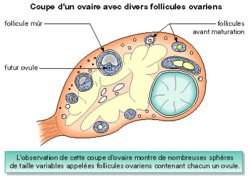 La production des spermatozoïdes et des ovules - illustration 5