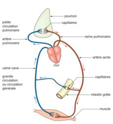 Les vaisseaux sanguins et la circulation sanguine - illustration 2