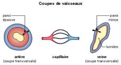 Les vaisseaux sanguins et la circulation sanguine - illustration 1