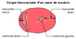 Le coeur - illustration 1