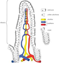 Schéma d'une villosité intestinale montrant la vascularisation