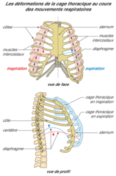L'approvisionnement du sang en dioxygène par l'intermédiaire des poumons - illustration 3