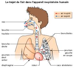L'approvisionnement du sang en dioxygène par l'intermédiaire des poumons - illustration 1
