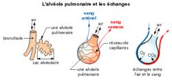 L'approvisionnement du sang en dioxygène par l'intermédiaire des poumons - illustration 2