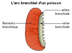 Les échanges respiratoires - illustration 5
