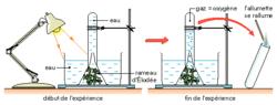 La libération de dioxygène, à la lumière, par des plantes vertes aquatiques