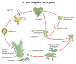 La dispersion des plantes sans fleurs - illustration 2