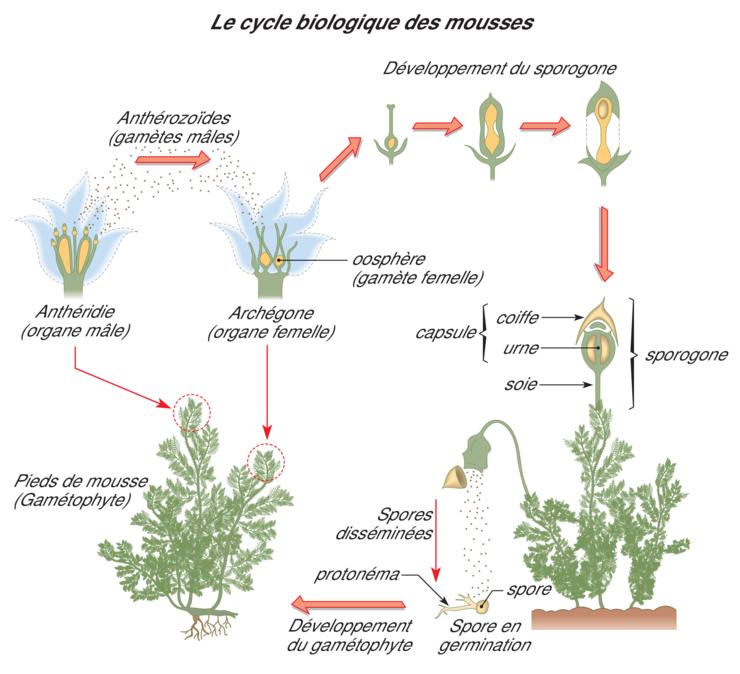 Image 6spm0304 la dispersion des plantes sans fleurs r viser une notion svt 6e - Noms de plantes aquatiques ...