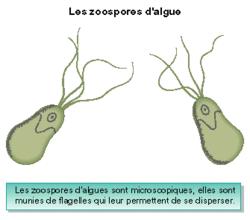 La dispersion des plantes sans fleurs - illustration 1
