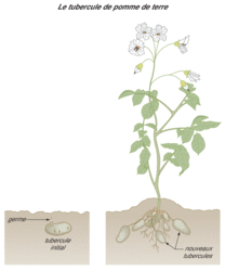 La multiplication végétative - illustration 4