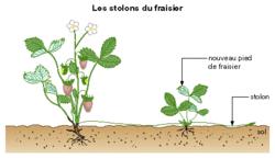 La multiplication végétative - illustration 2