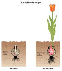 La multiplication végétative - illustration 5