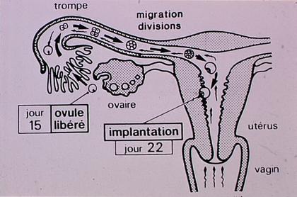 Ovulation, fécondation et implantation - illustration 1