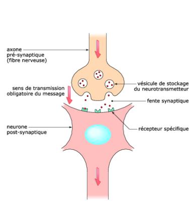 Schéma fonctionnel d'une synapse