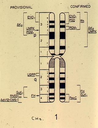 Localisation des gènes sur le chromosome 1 - illustration 1