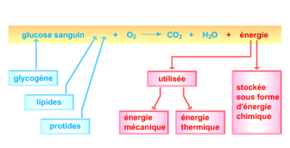 Le phénomène de respiration cellulaire - illustration 1