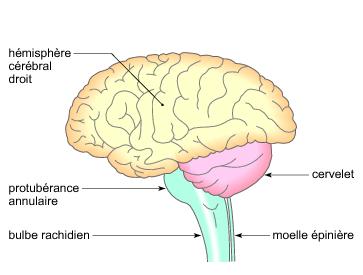L'encéphale humain - illustration 1