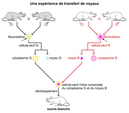Une expérience de transfert de noyaux - illustration 1