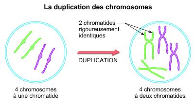 La duplication des chromosomes - illustration 1