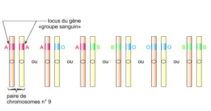 Deux chromosomes homologues - illustration 1