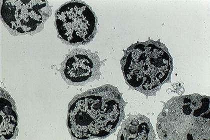 Lymphocytes - illustration 1