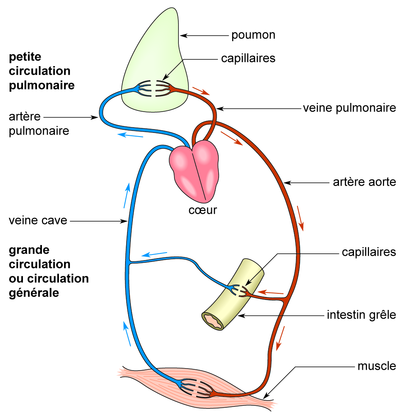 Schéma simplifié de la circulation sanguine - illustration 1