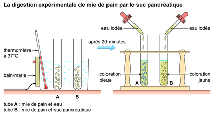 La digestion de mie de pain par le suc pancréatique - illustration 1