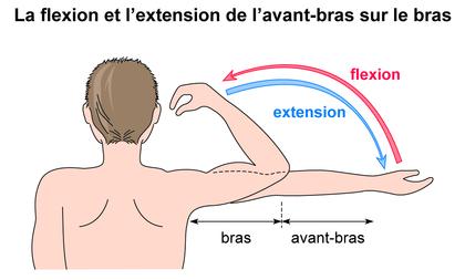 La flexion et l'extension de l'avant-bras sur le bras - illustration 1