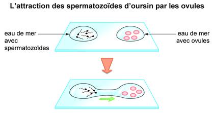 L'attraction des spermatozoïdes d'oursin par les ovules - illustration 1