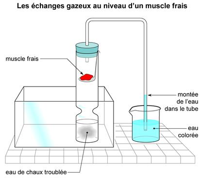 Les échanges gazeux au niveau d'un muscle frais - illustration 1