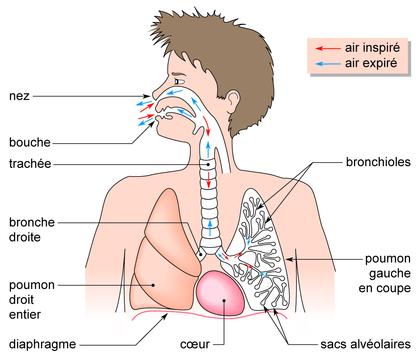 Le trajet de l'air dans l'appareil respiratoire humain - illustration 1