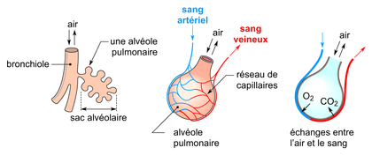 Les échanges gazeux dans une alvéole pulmonaire - illustration 1