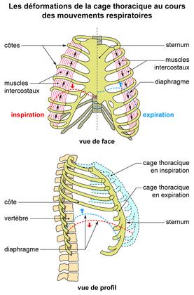 Les déformations de la cage thoracique lors de la respiration - illustration 1