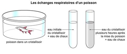Les échanges respiratoires d'un poisson - illustration 1
