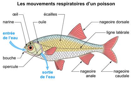 Les mouvements respiratoires d'un poisson - illustration 1